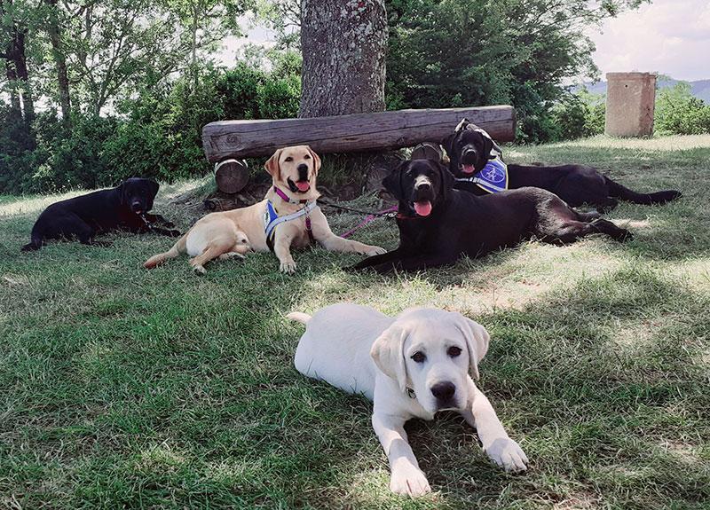 cinq élèves chiens guides couchés dans l'herbe