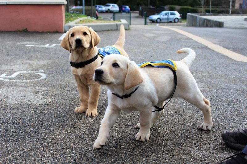 Elèves chiens guides de 2 mois