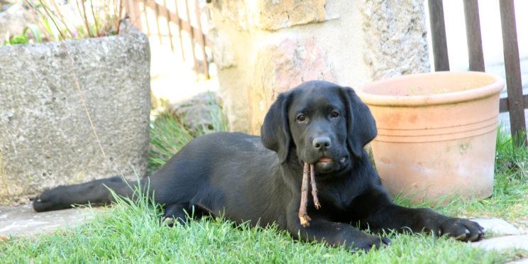 Rib, magnifique chiot labrador noir, allongé dans l'herbe, avec 2 bouts de boiss entre les dents.